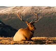 The Great Bull Elk At Rest Photographic Print