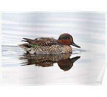 Reflecting On A Green Wing Teal Poster