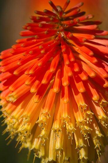 Red Hot Poker spike (flowerhead) by Sarah Weston