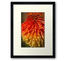 Red Hot Poker spike (flowerhead) Framed Print