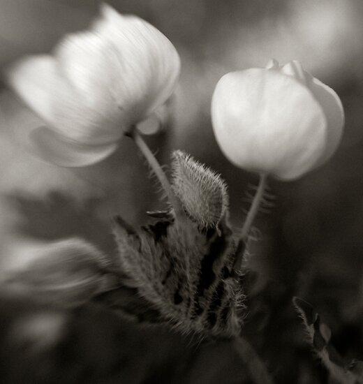 Poppy by kimmac