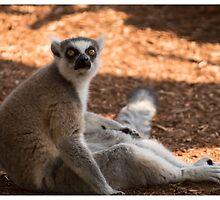 Ring Tailed Lemur by LizardSpirit