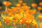 Poppy Profusion by John Butler