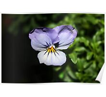 You little Pansy Poster