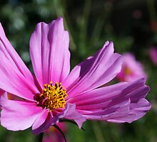 Pink Cosmos by Joanne Emery
