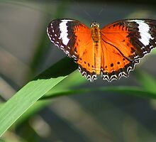 Butterfly by Joanne Emery
