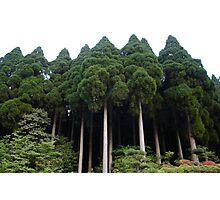 mountain cypress japan Photographic Print