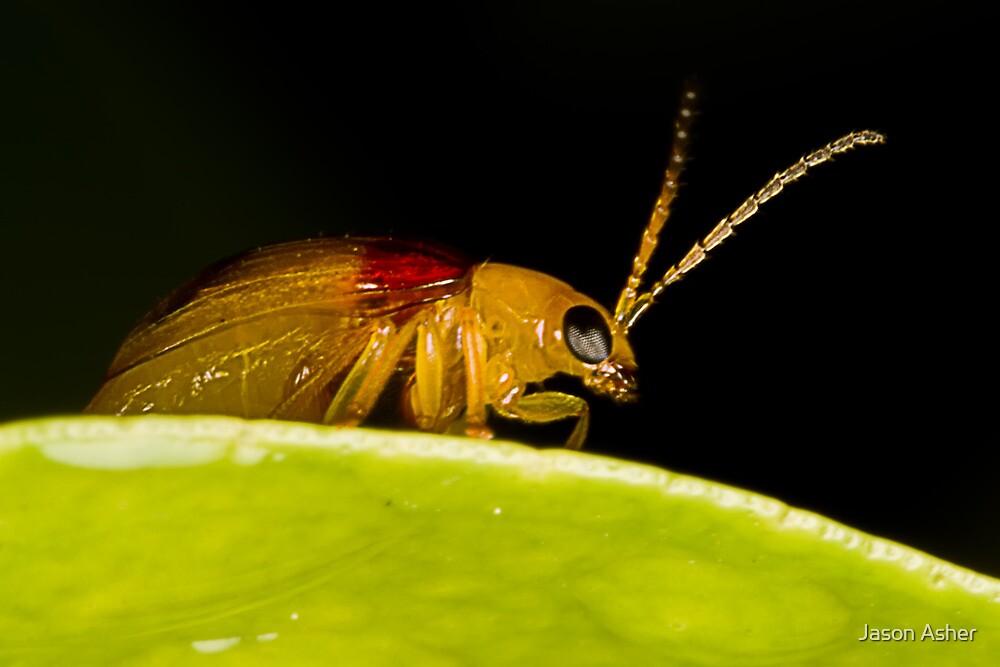 Red-Shouldered Leaf Beetle by Jason Asher