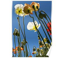 Tallest Poppies Poster