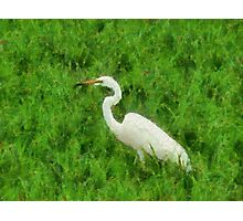 Egret in Rice Field Photographic Print