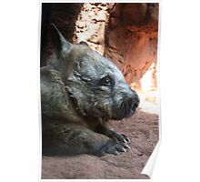 Wondering Wombat  Poster