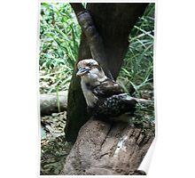 Kookaburra sits on the ol' tree stump Poster