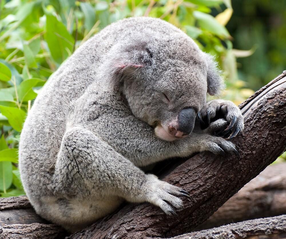 How much can a koala bear ???   by Jenny Dean