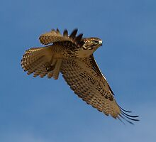 1105101 Red Tailed Hawk by Marvin Collins