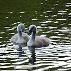 Cygnets on the lake by DEB VINCENT
