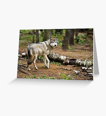 Timber Wolf - Ontario Canada Greeting Card