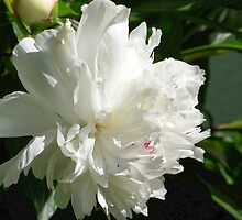 White Peony by © Betty E Duncan ~ Blue Mountain Blessings Photography