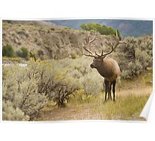 Yellowstone Elk - Yellowstone National Park Poster