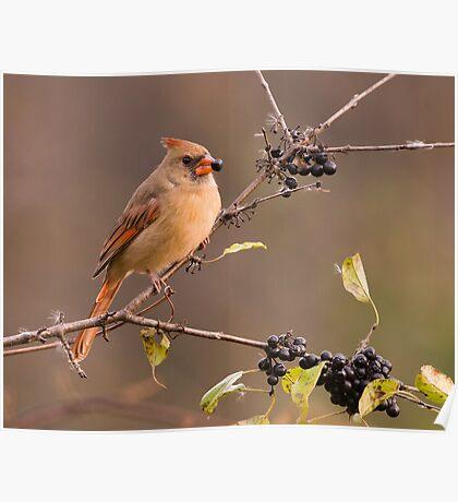 Female Northern Cardinal - Ontario Canada Poster
