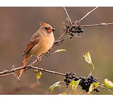 Female Northern Cardinal - Ontario Canada Photographic Print