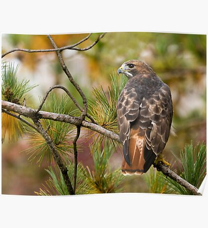 Red-tailed Hawk - Ontario, Canada Poster