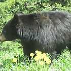 Black Bear in Yellowstone by Sarita Andres