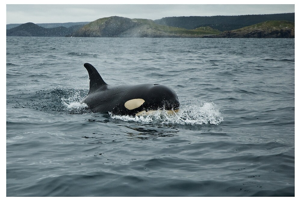Orca at Newfoundland, Canada by Raymond J Barlow