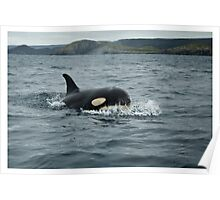 Orca at Newfoundland, Canada Poster