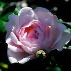 Rose in Dappled Light by Karen  Betts