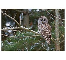 Barred Owl - Ontario Canada Photographic Print