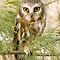 Saw-whet Owl - Ontario, Canada by Raymond J Barlow