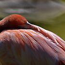 Flamingo by Barry Doherty