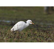 Dew Worm Cattle Egret Photographic Print