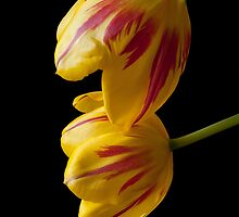 Tulip Treasures by Gregory J Summers