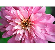 Echinacea purpurea 'Pink Poodle' Photographic Print
