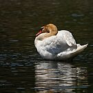 Mute Swan - Brighton, Ontario by Michael Cummings