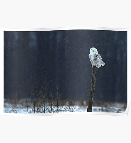 Snowy Owl - Amherst Island, Ontario Canada Poster