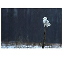 Snowy Owl - Amherst Island, Ontario Canada Photographic Print