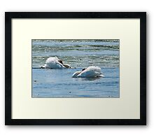 Mute Swans Displaying Framed Print