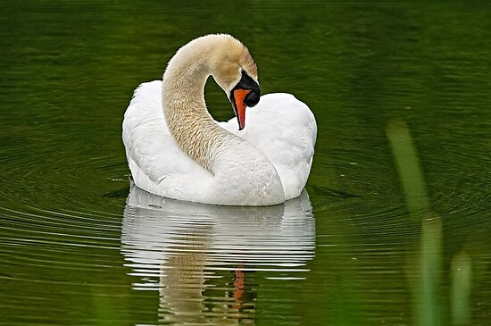 Mute Swan by Michael Cummings