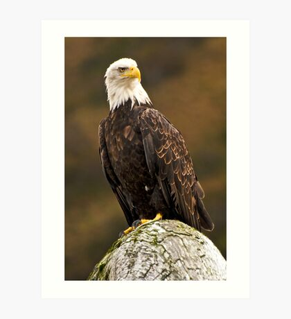 Kodiak Bald Eagle Art Print