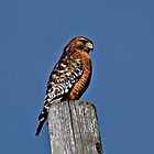 Red Shouldered Hawk by Clyde  Smith