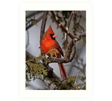 Male Northern Cardinal in Cedar Tree - Ottawa, Ontario Art Print