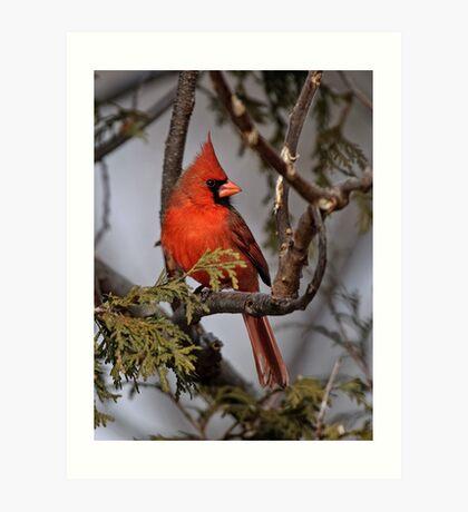 Male Northern Cardinal in Cedar Tree - Ottawa, Ontario Art Print