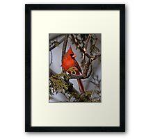 Male Northern Cardinal in Cedar Tree - Ottawa, Ontario Framed Print
