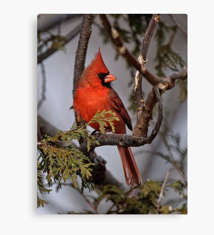 Male Northern Cardinal in Cedar Tree - Ottawa, Ontario Canvas Print