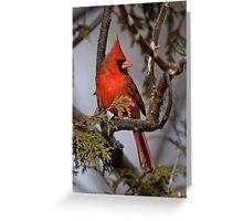Male Northern Cardinal in Cedar Tree - Ottawa, Ontario Greeting Card