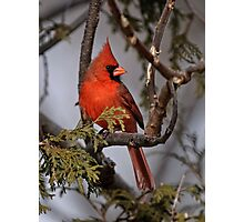 Male Northern Cardinal in Cedar Tree - Ottawa, Ontario Photographic Print