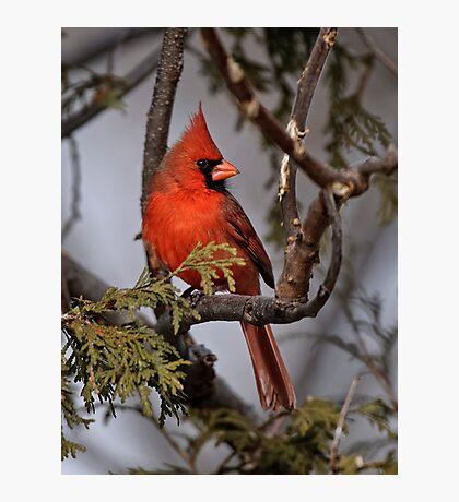 Male Northern Cardinal in Cedar Tree - Ottawa, Ontario Photographic Print