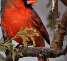 Male Northern Cardinal in Cedar Tree - Ottawa, Ontario Sticker